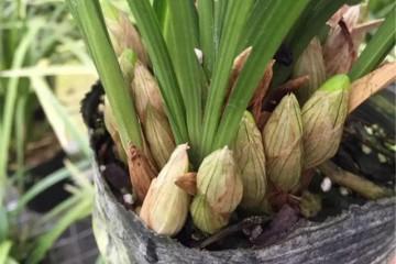 """福建兰花大户:只用""""树皮加珍珠岩""""当植料,一次窜出10个大花苞"""